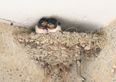 HKBWS - Swifts and Swallows