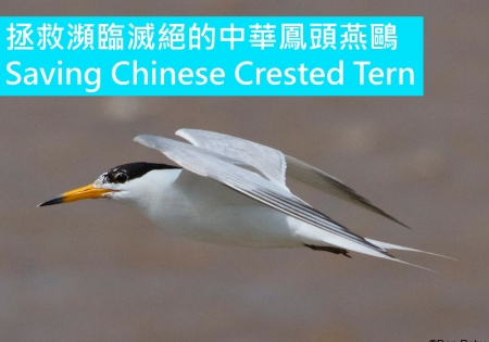SAVING CHINESE CRESTED TERN FROM EXTINCTION