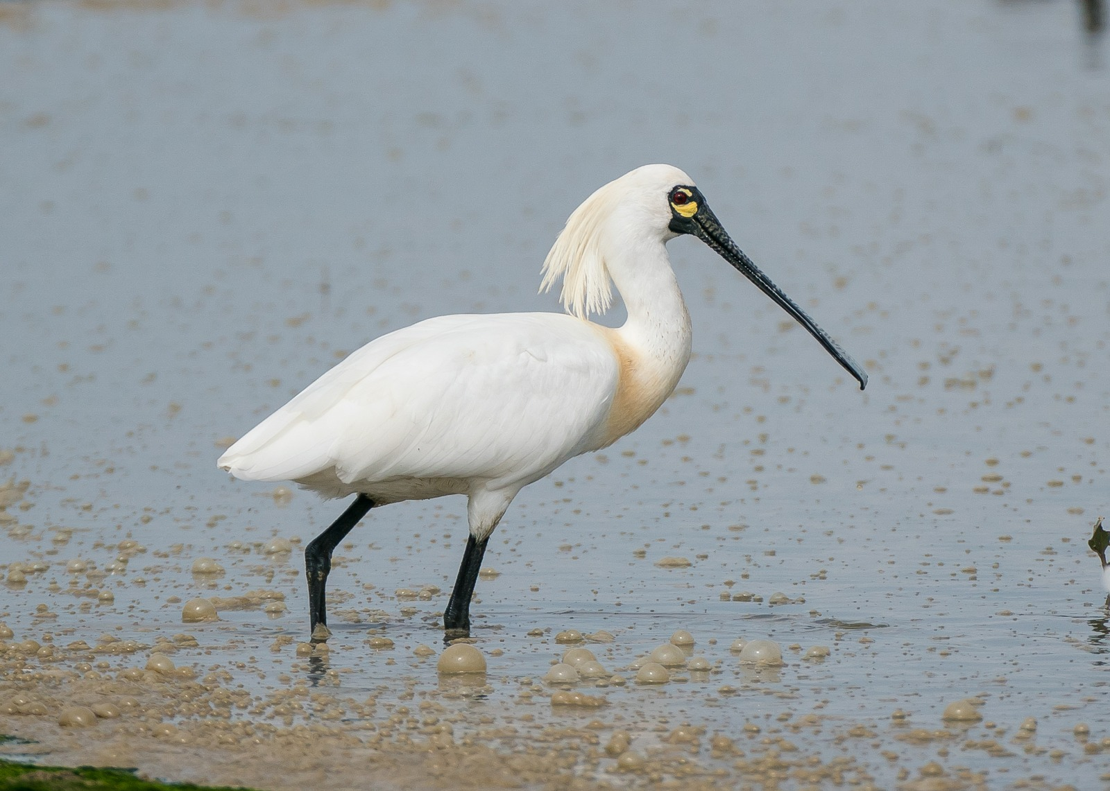 25 years of conservation Black-faced Spoonbill may no longer be endangered