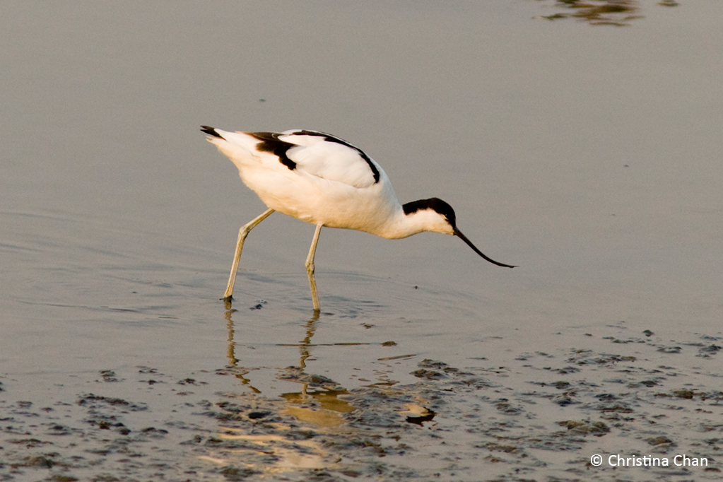 Fishpond Bird series: Pied Avocet